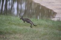 Eastern-Grey-Kangaroo-Joey-jumping-stop-motion