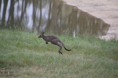 Eastern-Grey-Kangaroo-Joey-jumping-stop-motion