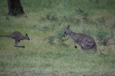 Female-Eastern-Grey-Kangaroo-and-joey