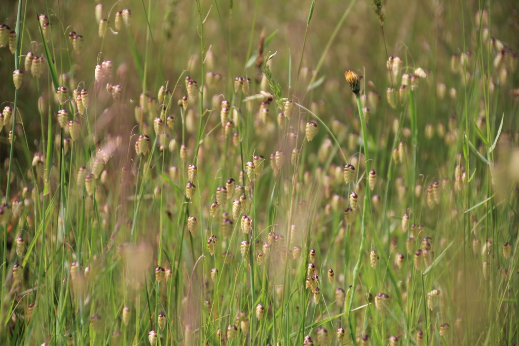 large-quaking-grass-with-seed-heads