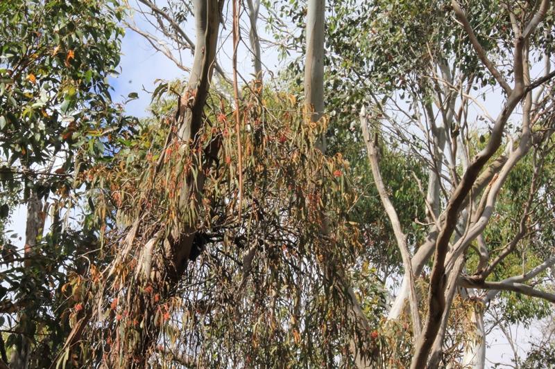 drooping-mistletoe-in-eucalypt.
