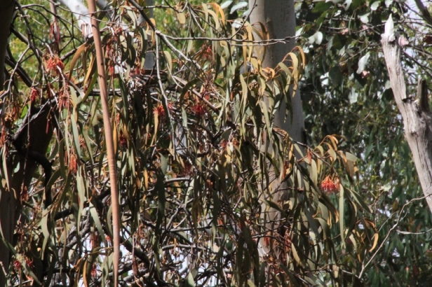 red-drooping-mistletoe-flowers-and-leaves