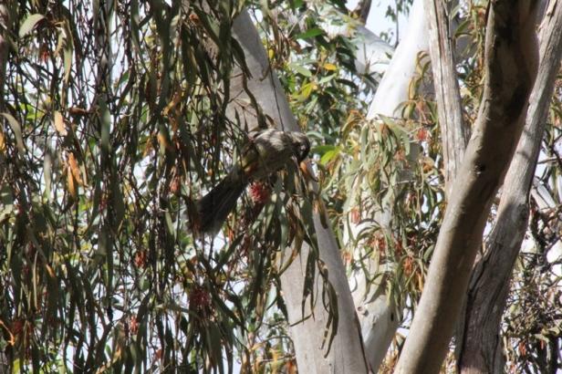 red-wattlebird-feeding-on-red-mistletoe-flowers