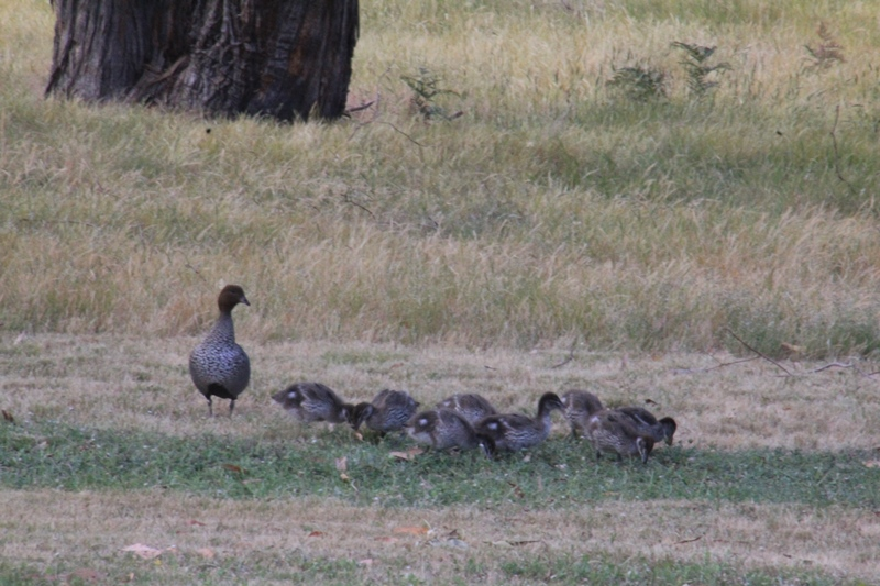 male-Australian-Wood-Duck with-eight-ducklings