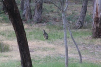 Swamp-Wallaby-Female-With-Joey