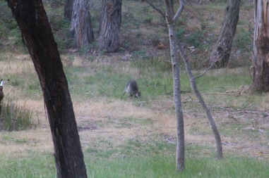 Female-Swamp-Wallaby-moving-over-grass