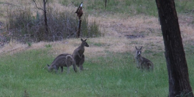 thee-young-male-eastern-grey-kangaroos-eating-grass
