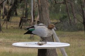 Adult-male-Australian-Wood-Duck-on-bird-feeder.