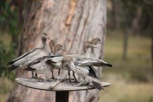 six-Australian-Wood-Duck-Ducklings-on-bird-feeder.