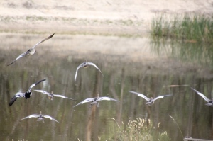 Nine Australian-Wood-Ducks-flying-to-a-dam