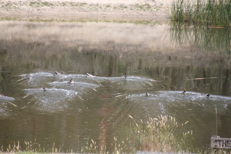 Nine-Australian-Wood-Ducks-landing-on-the dam