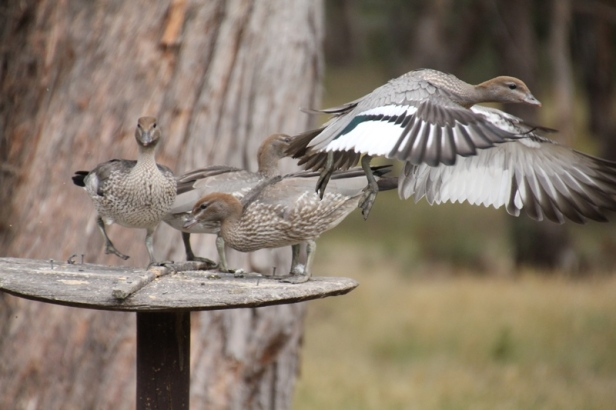 Australian-Wood-Duckling-with wings-extended-in-flight.