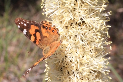 Xanthorrhoea-flower-spike-with-female-painted-lady-butterfly