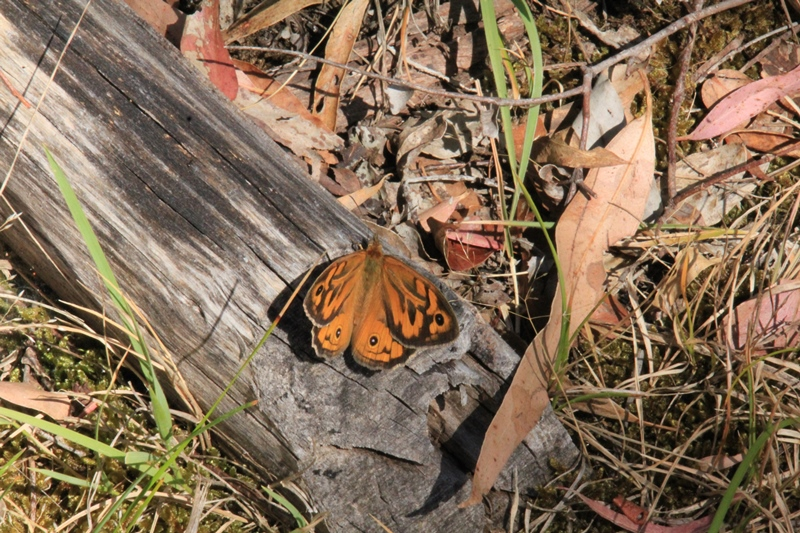 common-brown-butterfly-resting-on-fallen-bark