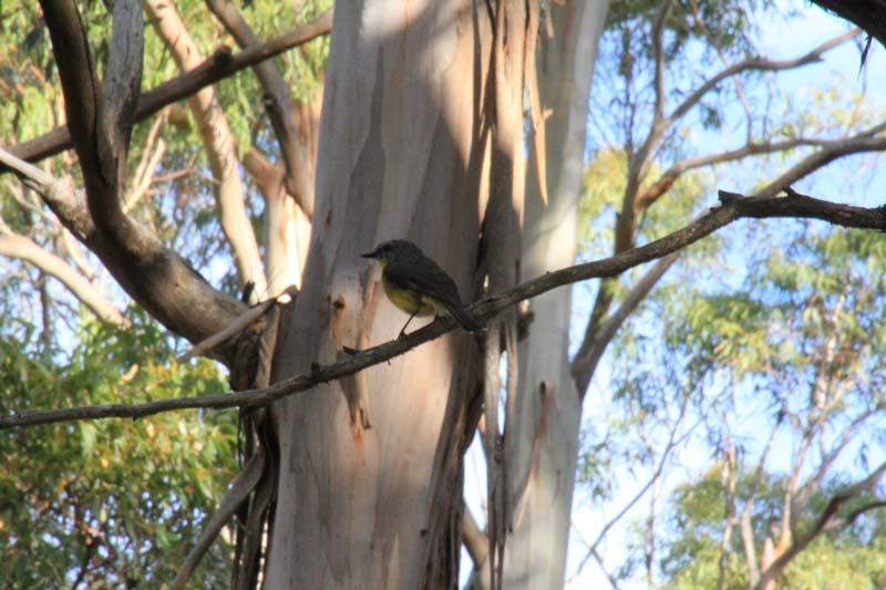 Eastern-yellow-robin-sitting-in-fork-of tree-insunshine