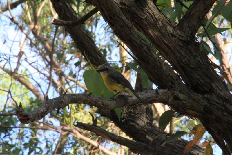 Eastern-yellow-robin-sitting-in-fork-of tree-inshadow