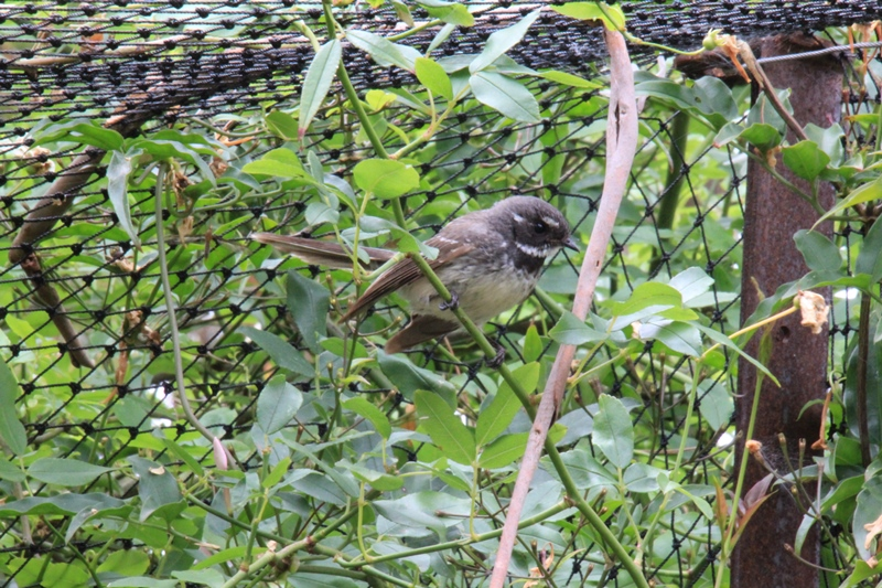 Grey-fantail-in-cat-enclosure-sitting--on-banksia-rose-stem