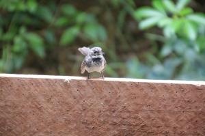grey-fantail-sitting-on-planter-box-timber-pannel-shown-from-front