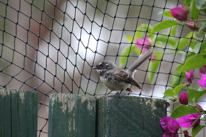 Grey-fantail-c;lose-up-sitting-on-garden-gate