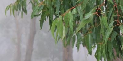 Vivid-green-gumleaves-against-soft-fog-landscape-photograph