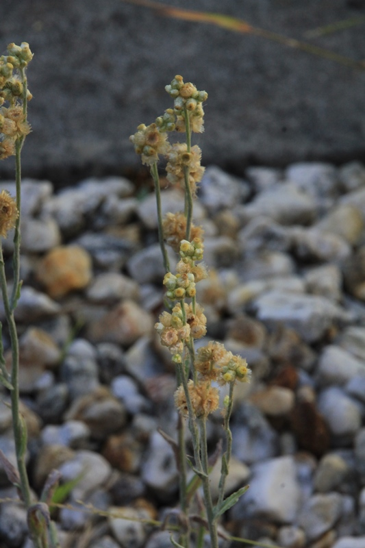 Jersey-Cudweed-growing-in-gravel-in-back-yard