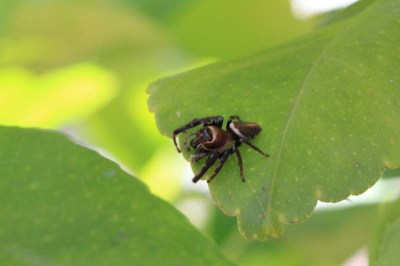 jumping-spider-on-bright-green-leaf