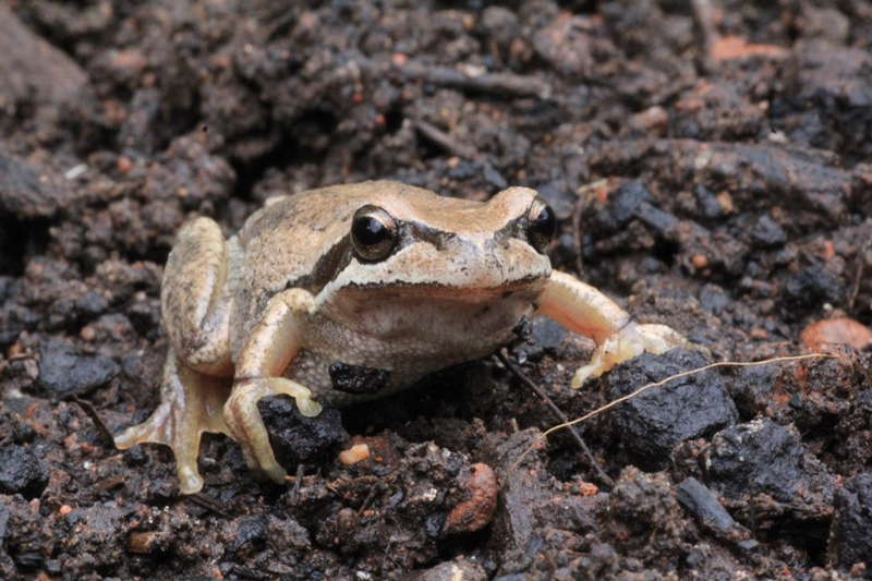 Southern-Brown-Tree-Frog