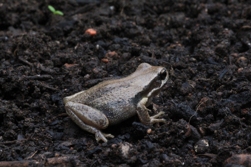 Southern-brown-tree-frog-viewed-from-the-side
