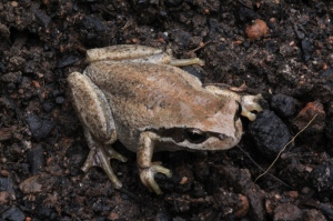 southern-brown-tree-frog-viewed-from-above