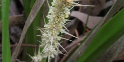 white-spiny-headed-mat-rush-flower
