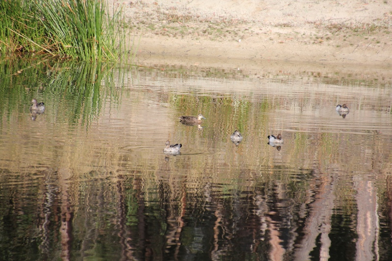 Beautiful-reflection-on-surface-of-water-with-ducks-swimming