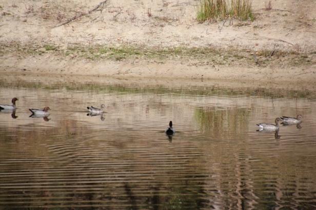 six-australian-wood-ducks-swimming-on-beautifully-reflective-dam