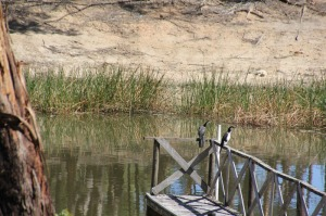 Pair-of-Little-Pied-Cormorants-Resting-On-Dam-Jetty