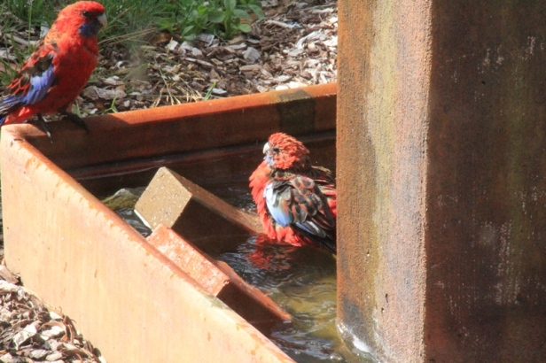 Crimson-Rosella-entering-water-for-a-bath