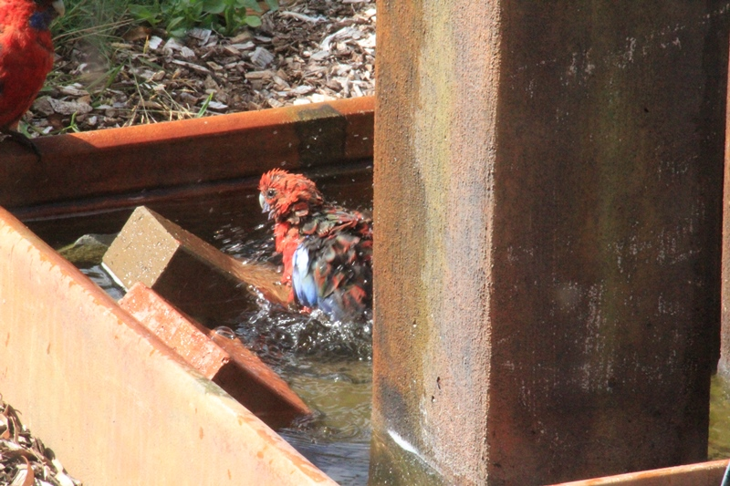 Crimson-Rosella-bathing-with-another-bird-watching
