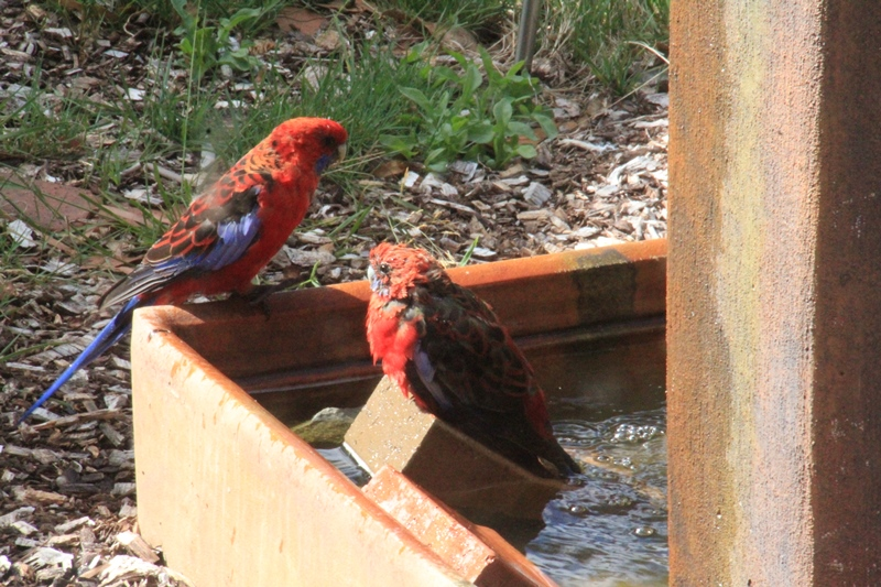 Crimson-Rosella-in-water-feature-after-bath