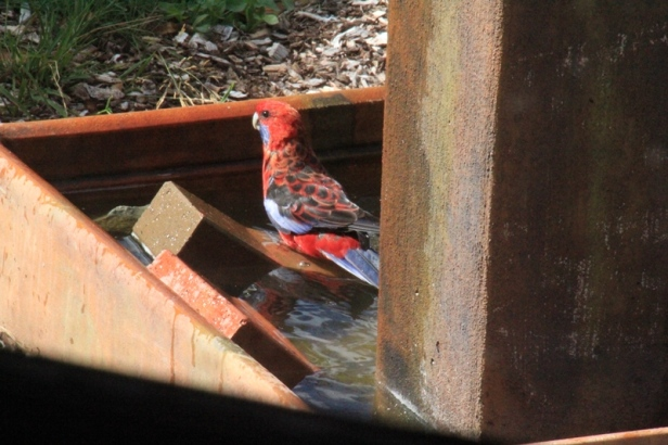 Crimson-Rosella-bathing-in-water-feature