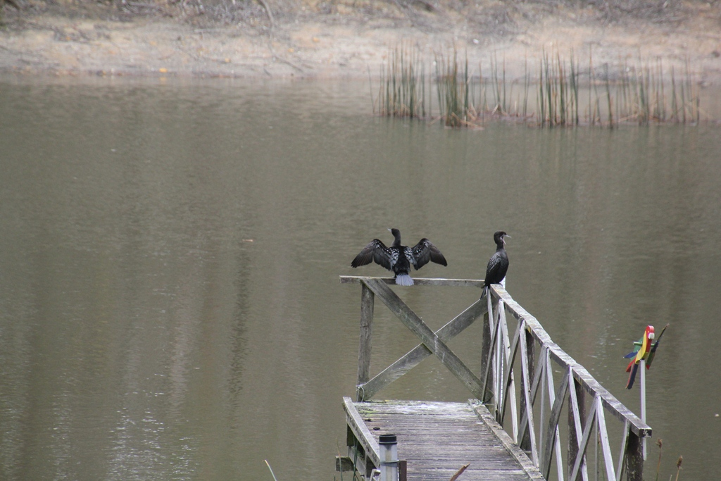 pair-of-little-black-cormorants-sitting-on-dam-jetty-drying-wings