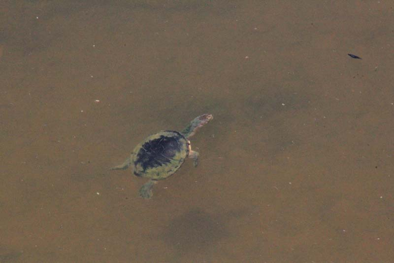 Eastern-long-necked-turtle-surfacing-for-air
