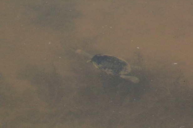 Eastern-long-necked-turtle-wmimming-under-water