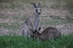 Independent-joey-feeding-from-mothers-pouch