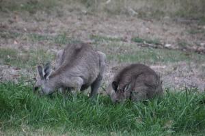 Eastern-Grey-Kangaroo-and-joey-eating-grass