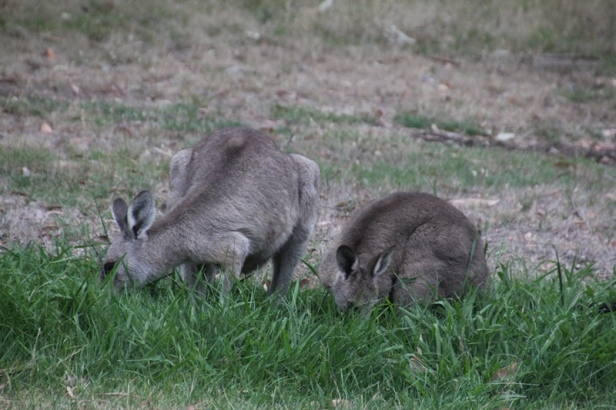 Eastern-Grey-Kangaroo-and-joey-eating-grass