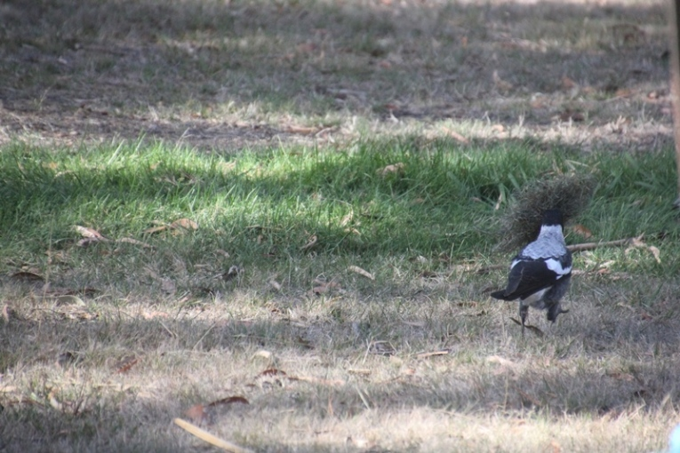 magpie-playing-with-grass-clump