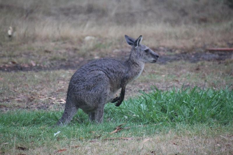 rain-soaked-kangaroo-eating-grass-on-wet-summer-day