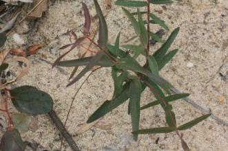 young-eucalypt-growing-on-sandy-dam-bank