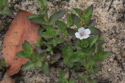tiny-white-and-pnk-flower-growing-in-sand-around-falling-dam