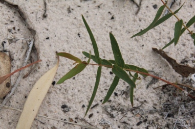 small-eucalypt-growing-in-sand-on-dam-bank.
