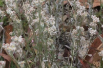 This looks like it is White Cudweed (Vellereophyton dealbatum) a species of cudweed which is an exotic (not native to Victoria). It is probably the second most plentiful plant in the re-growth.