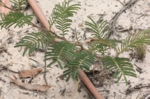 young-acacia-plant-naturall-regrowth